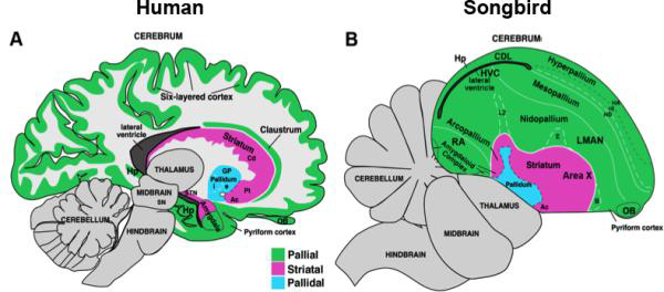 Human vs avian brain knowing neurons ccuart Images