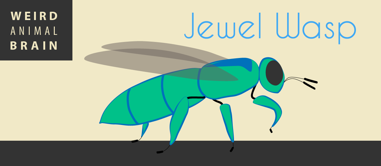 Weird animal brain: Jewel wasp